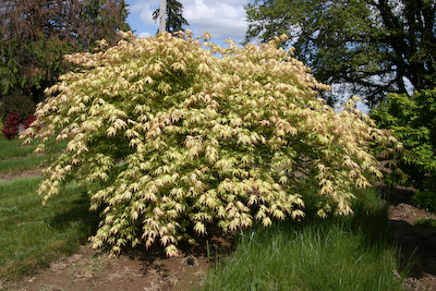 acer palmatum 'sister ghost' | essenceofthetree.co