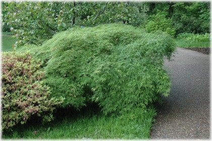 acer palmatum 'viridis' | plants.chaletnursery.com