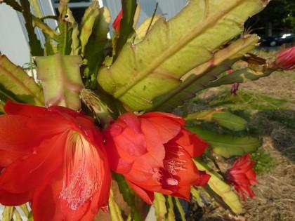 orchid cactus closeup