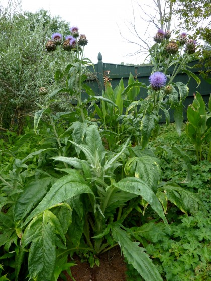 cardoon at berkshire botanical garden