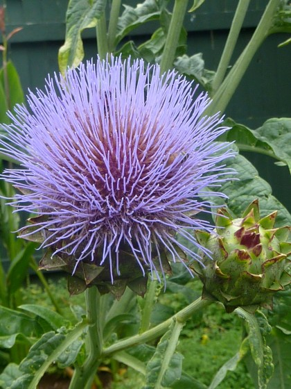 cardoon bloom close-up
