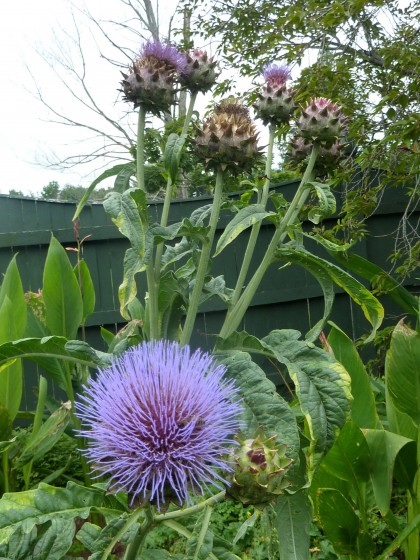 cardoon blooms!