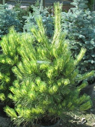 pinus densiflora 'oculus draconis' | millernursery.com