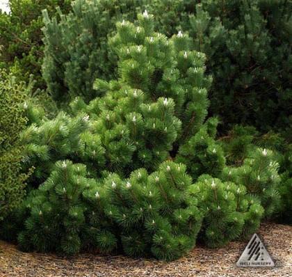 pinus thunbergii 'thunderhead' | iseli-nursery.com
