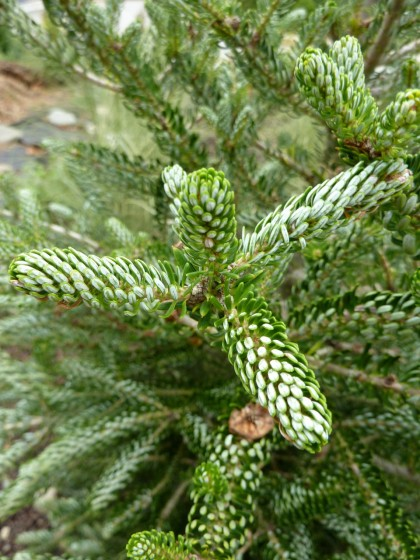 abies silberlocke needles