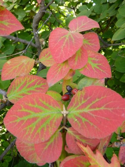 virburnum carlesii 'korean spice viburnum'