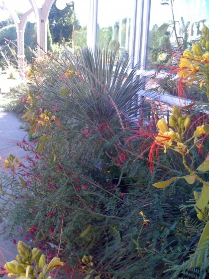 caesalpinia giliesii 'bird of paradise' shrub