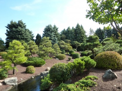 conifers in the japanese garden