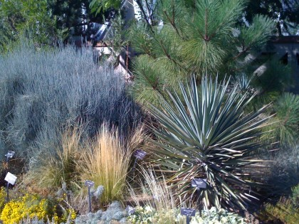ephedra 'bluestem joint fir', mexican feather grass, yucca, pine