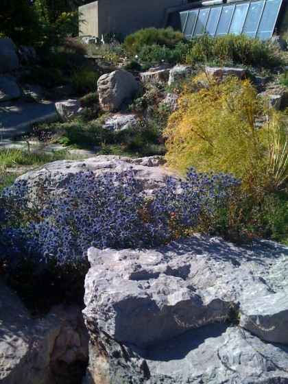 eryngium still in bloom in the rock garden