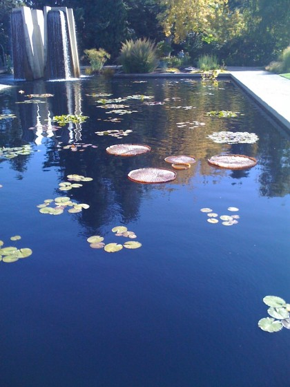 giant 3' waterlilies