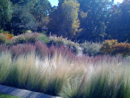 ornamental grasses... nassella tenuissima 'mex feather grass', schizachyrium scoparium 'little bluestem'), miscanthus