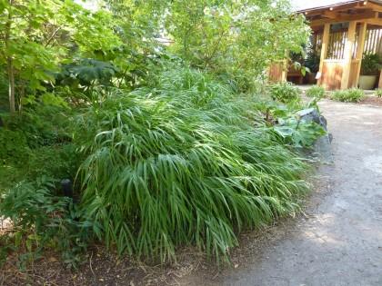hakonechloa macra 'japanese forest grass'