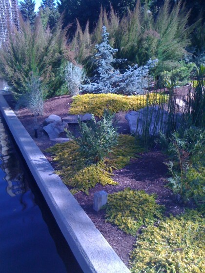 pond's edge... lysimachia nummularia 'aurea' (gold creeping jenny) with conifers