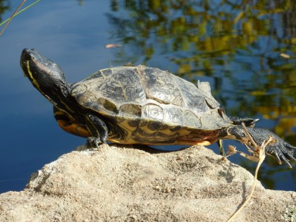 turtle sunning on rock