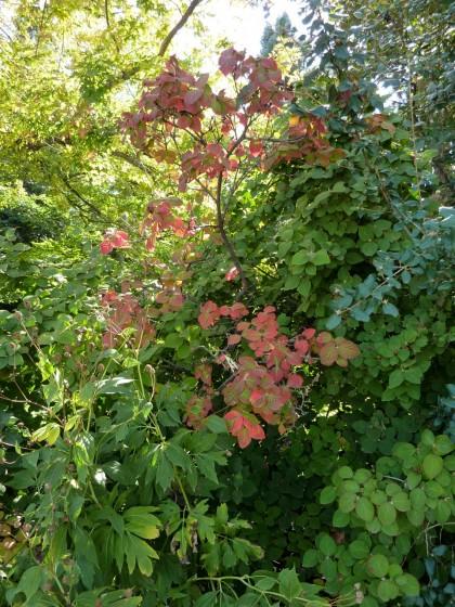 viburnum carlesii 'korean spice viburnum'