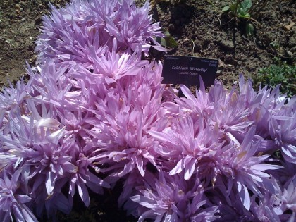 fall blooming crocus: colchicum 'waterlily'