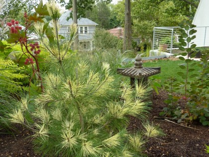 our dragons eye japanese white pine