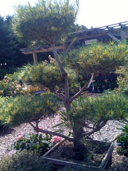 dragons eye bonsai at farmer's daughter