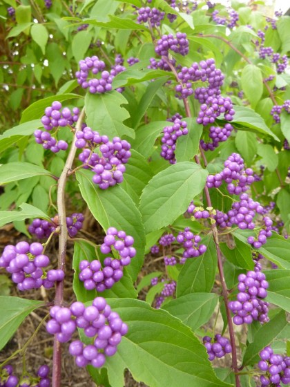 callicarpa bodinieri 'profusion beautyberry'