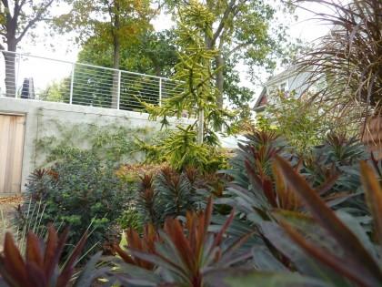 picea orientalis 'skylands' behind euphorbia 'blackbird'