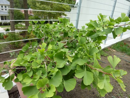 my ginkgo butterflies, still in a pot