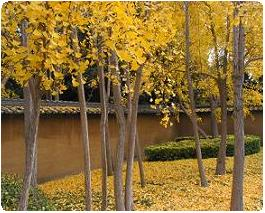 ginkgos at huntington japanese garden | huntington.org