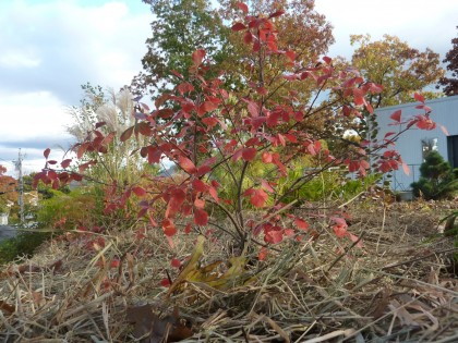 straw mulch and the happy little Gro Low Sumac