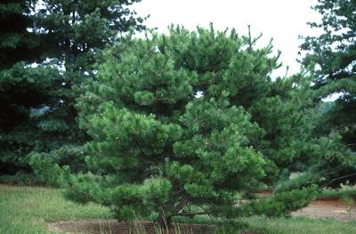 typical pinus densiflora | oculus draconis feature on whiterosesgarden.com