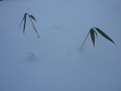 buried bamboo
