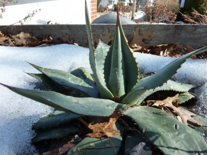 signs of life: parry's century plant | agave parryi