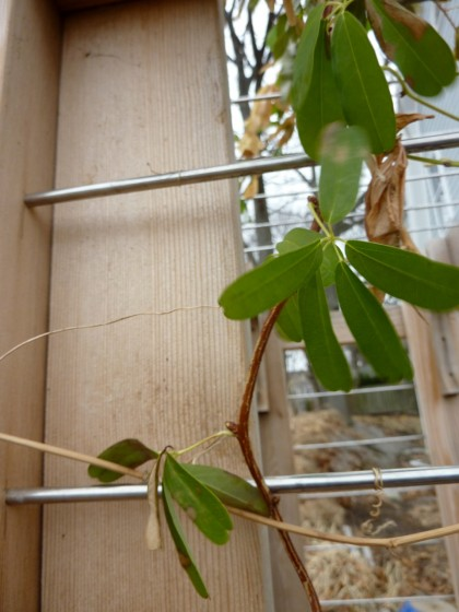 "signs of life: akebia quinata ""shirobana"""