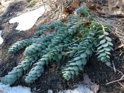 signs of life: donkey-tail spurge | euphorbia myrsinites