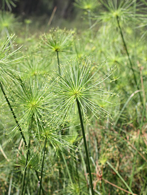 dwarf egyptian papyrus | botanicalgrowers.com