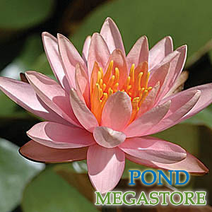 firecrest waterlily | pondmegastore.com