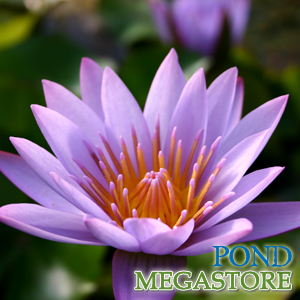 key largo tropical waterlily | pondmegastore.com