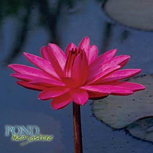 red flare waterlily | pondmegastore.com