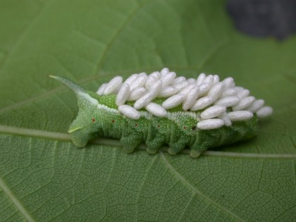 tomato hornworm with wasp eggs | http://www.vegedge.umn.edu