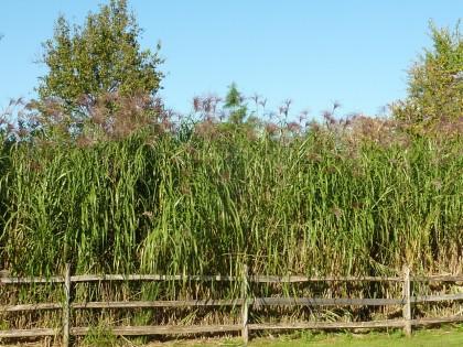 brine garden giganteus hedge