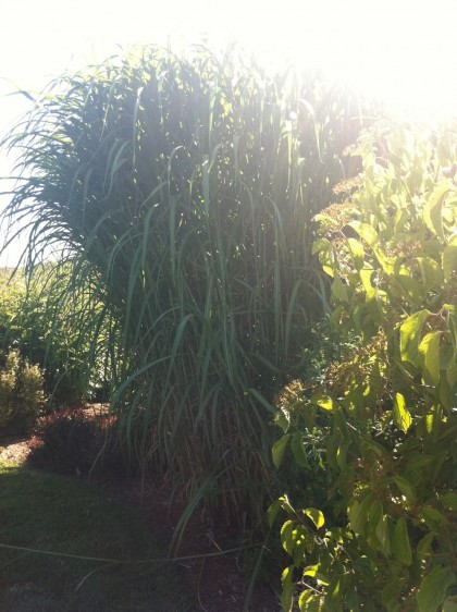 miscanthus giganteus at farmers daughter