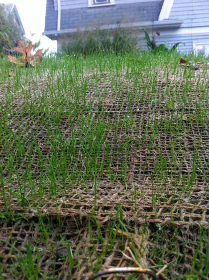 grass at two weeks, closeup