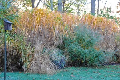 miscanthus-giganteus-fall via awaytogarden.com