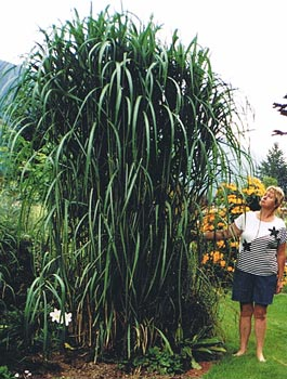 miscanthus giganteus photo by marcia sofonoff  bluestem.ca