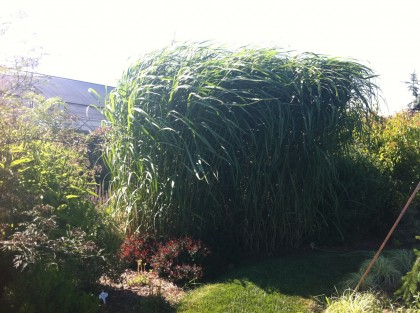 miscanthus giganteus vs. the wind