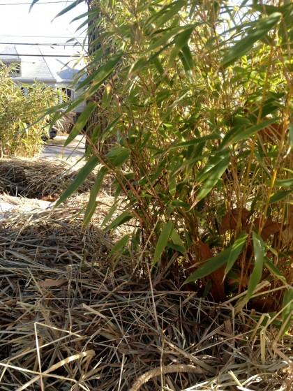 bamboo_fargesiarufa