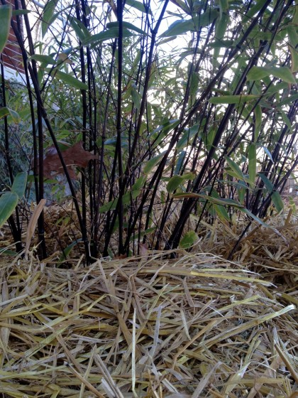 bamboo_phyllostachysnigrahale