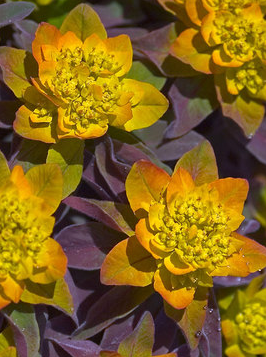 Euphorbia polychroma Bonfire | bluestoneperennials.com