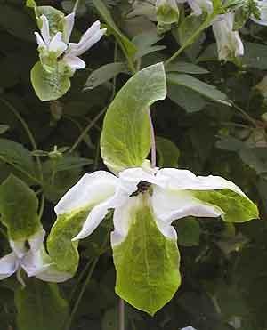 clematis viticella 'alba luxurians' | rainyside.com