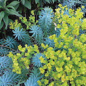 Euphorbia 'Blue Haze' | highcountrygardens.com