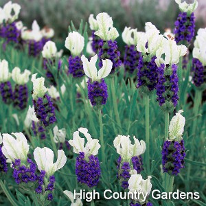 Lavandula stoechas 'Madrid Blue'  | highcountrygardens.com